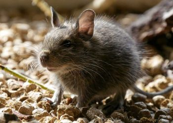 Effective Tips On Rodent Control Interventions